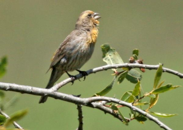 Lesser Goldfinch at San Elijo Lagoon.