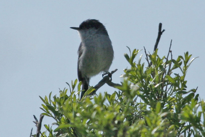 I've labeled this guy as a California Gnatcatcher because of the dull gray breast, but not sure why it can't be a Black-tailed Gnatcatcher. This photo was taken at the San Dieguito River Park's Bernardo Bay Natural Area at Lake Hodges.