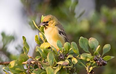 Orchard Oriole (male)