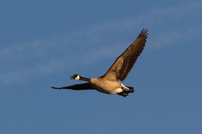 Canadian Goose in Flight
