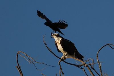Crow Harrasing Osprey