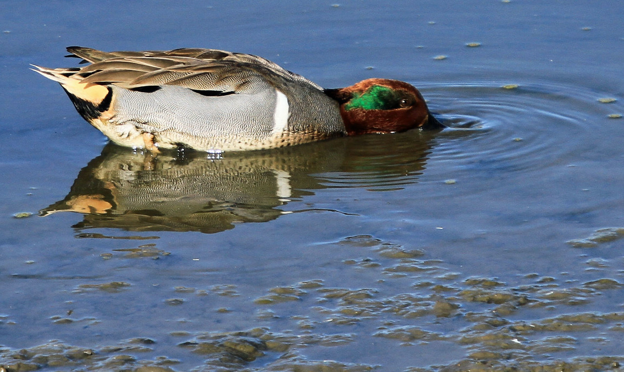 Green-winged Teal - San Joaquin Wildlife Sanctuary