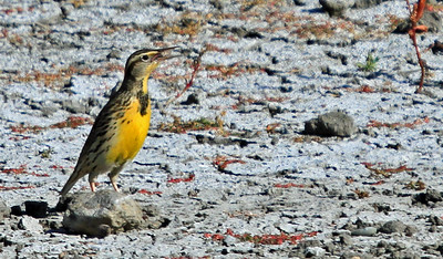 Western Meadowlark - San Joaquin Wildlife Sanctuary