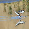Black-necked Stilt - San Joaquin Wildlife