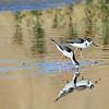 Black-necked Stilt - San Joaquin Wildlife