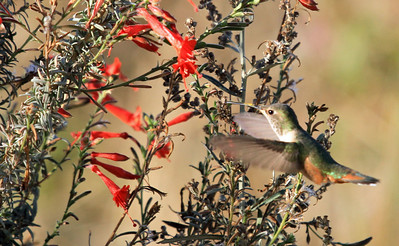 Allen's Hummingbird - San Joaquin Wildlife Sanctuary