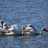 American White Pelican - San Joaquin Wildlife Sanctuary