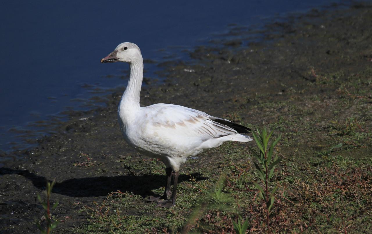 Snow Goose (White juvenile) - San Joaquin Wildlife  Sanctuary