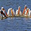 American White Pelican - San Joaquin Wildlife  Sanctuary - Communal Fishing