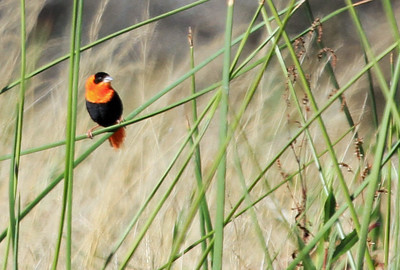 Orange Bishop - San Joaquin Wildlife Sanctuary