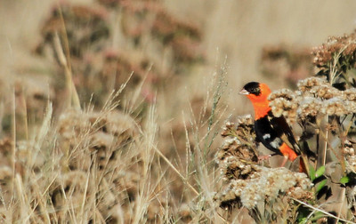 Orange Bishop - November 2015 San Joaquin Wildlife Sanctuary, Irvine, CA