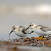 Sanderling (Calidris alba) :