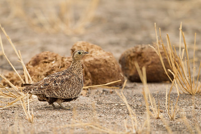 Black-faced Sandgrouse - Female - Tarangire National Park, Tanzania