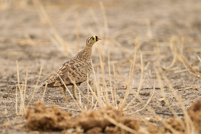 Black-faced Sandgrouse - Male - Tarangire National Park, Tanzania