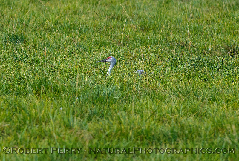 Grus canadensis Sandhill cranes in field of green grass 2017 10-16-Staten Island-012