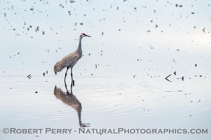 Grus canadensis Sandhill cranes 2018 01-23 Woodbridge Rd - Lodi --034