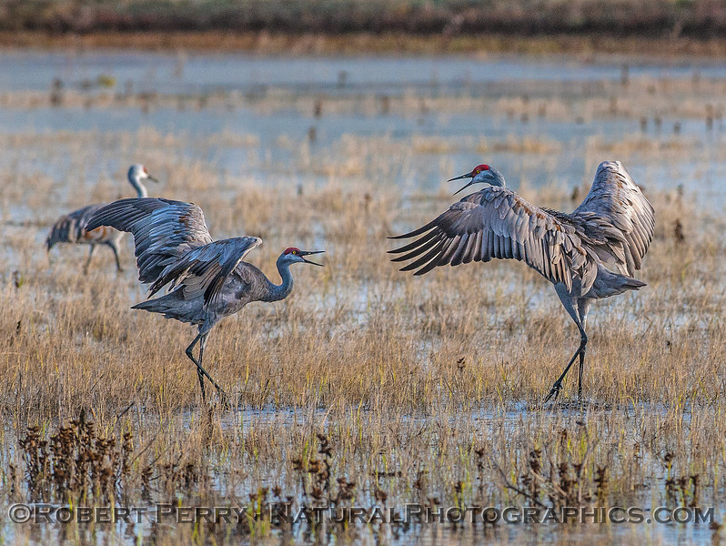 Male and female sandhill cranes mate for life and dance all year round.