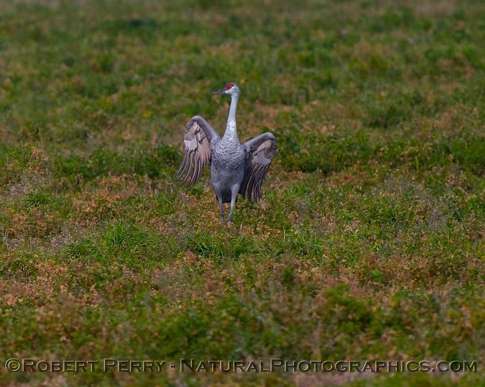 Grus canadensis Sandhill Cranes 2017 12-15 Woodbridge -061