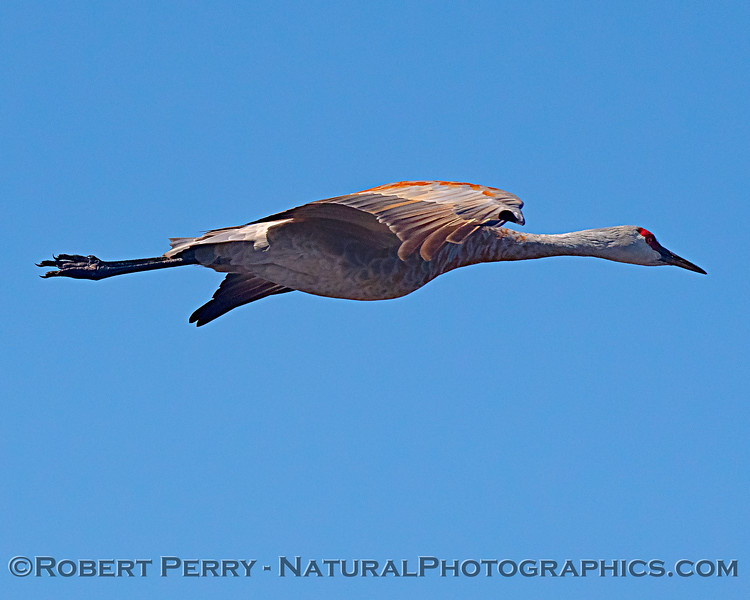 Grus canadensis  in flight 2018 10-19 Cosumnes River Preserve--045