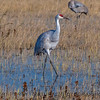 Sandhill crane in the preserve.