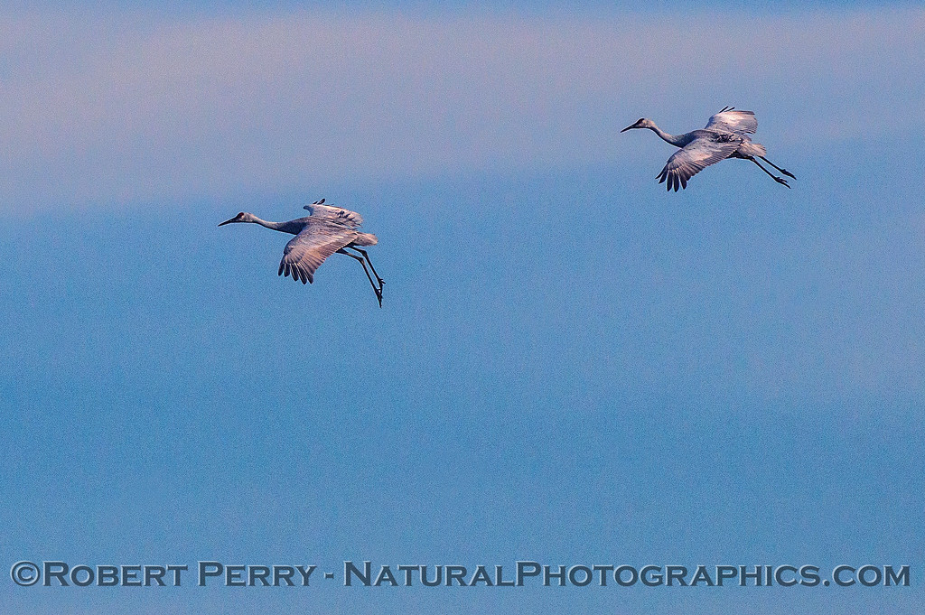 A duet of cranes coming in for a landing.