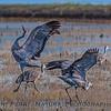 Grus canadensis sandhill crane 2016 10-22 Cosumnes Preserve - 417