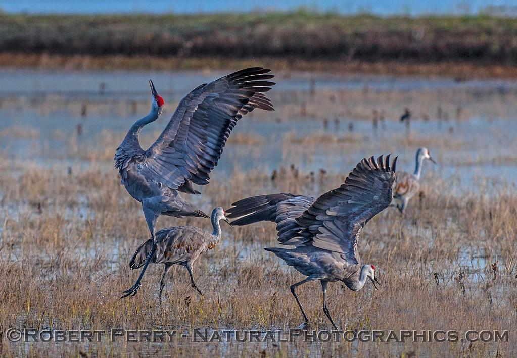 Airborne dancing crane.