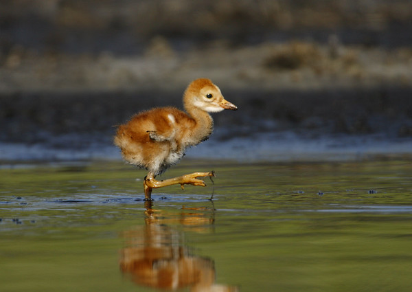 One day old chick goose-stepping through the water.