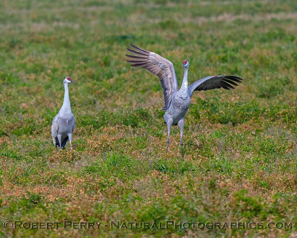 Grus canadensis Sandhill Cranes 2017 12-15 Woodbridge -060