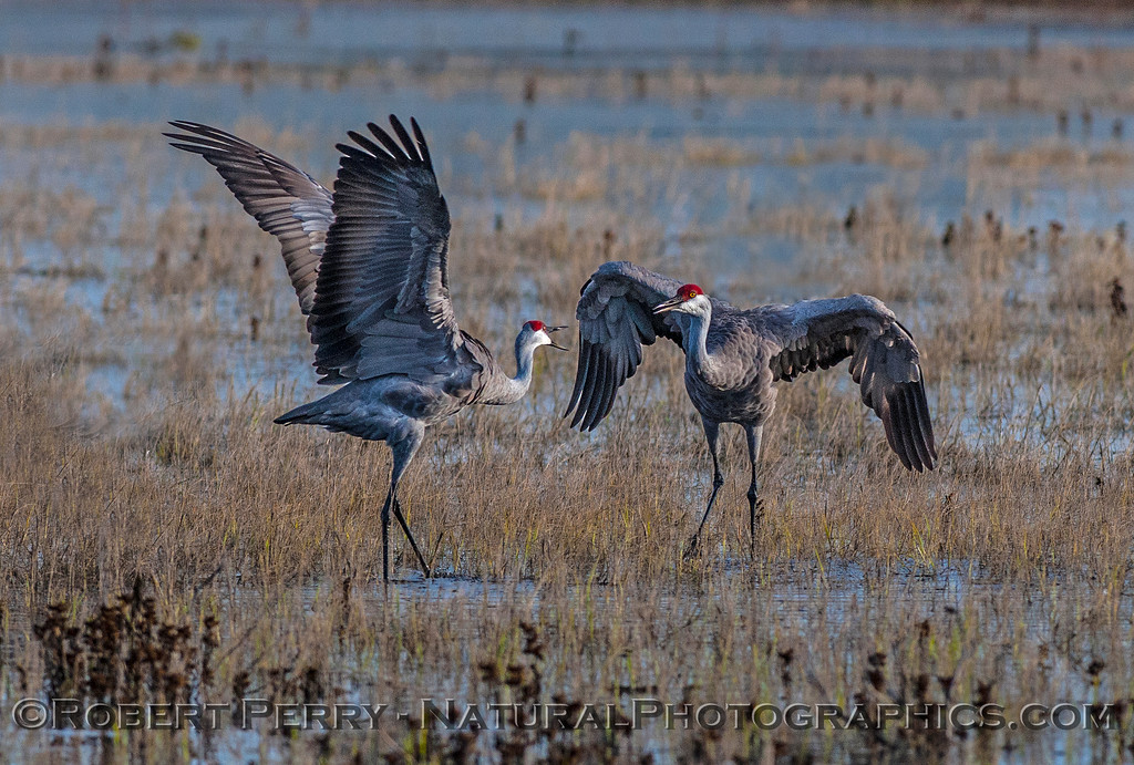 More male-female dancing in the wetlands.