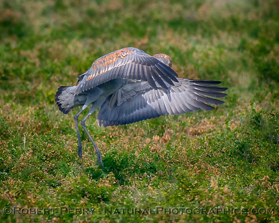 Grus canadensis Sandhill Cranes 2017 12-15 Woodbridge -130
