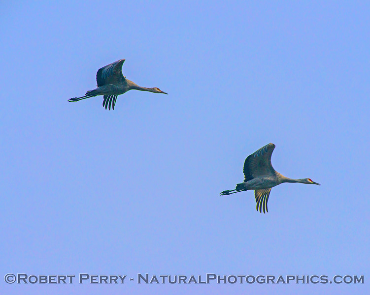 Grus canadensis Sandhill Cranes 2 in flight 2017 12-15 Woodbridge -195