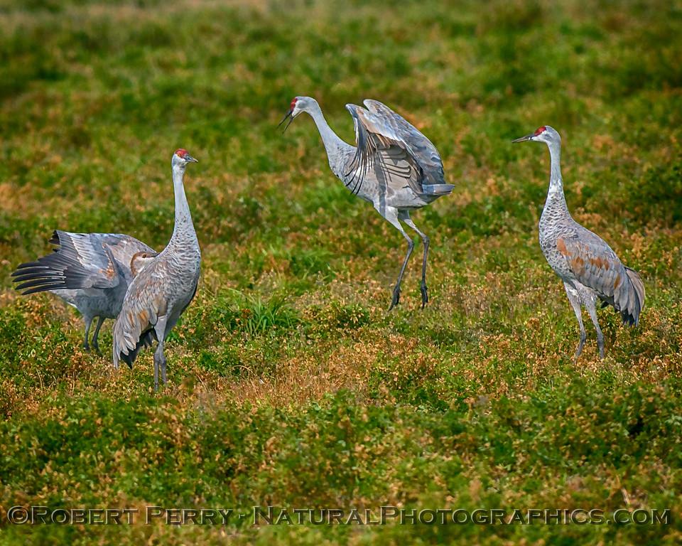 Grus canadensis Sandhill Cranes 2017 12-15 Woodbridge -027