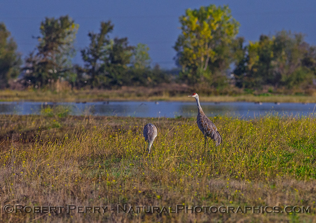 Cranes in the wildflower patch.