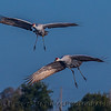 Grus canadensis sandhill cranes 2 in flight CLOSE 2016 10-22 Cosumnes Preserve - 528