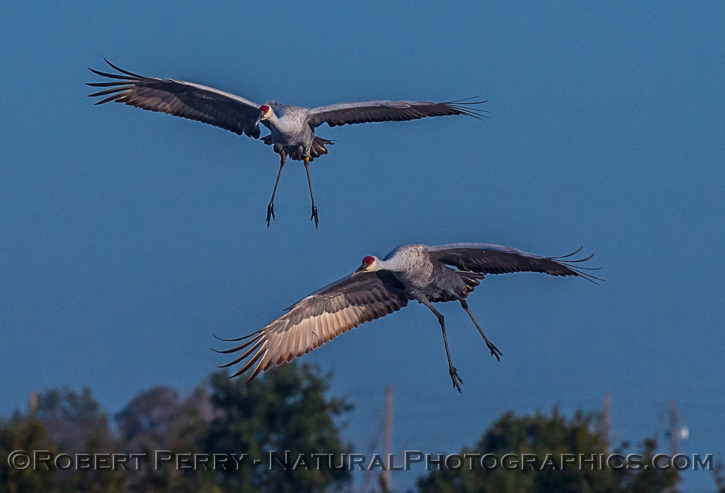 Two cranes about to land.