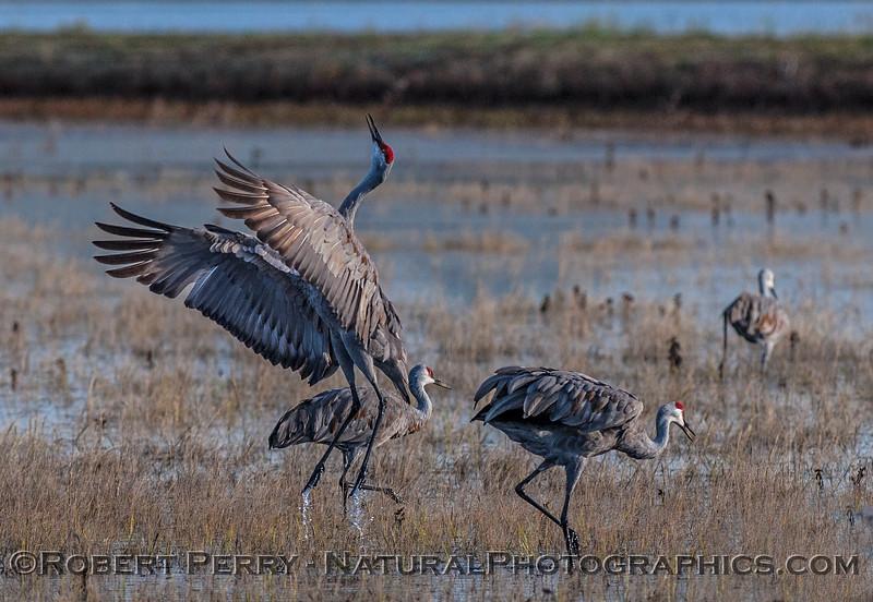 Cranes often exhibit airborne enthusiasm during their dance routines.