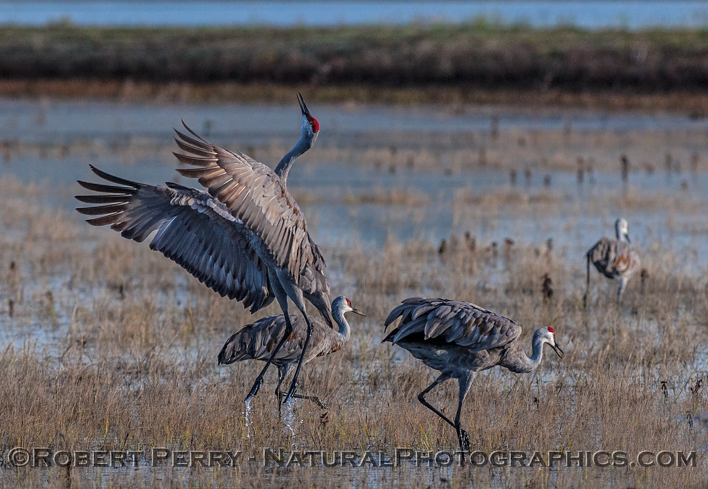 Cranes often exhibit airborne enthusiasm during their dance routines.