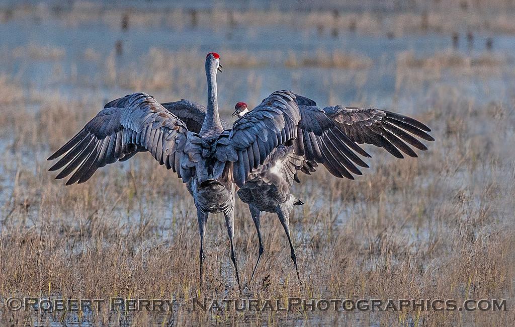 More dancing cranes.