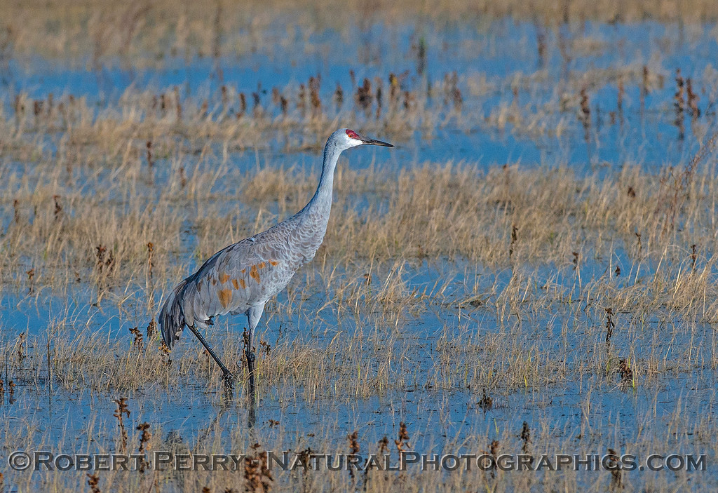 Sandhill crane in the flooded fields.
