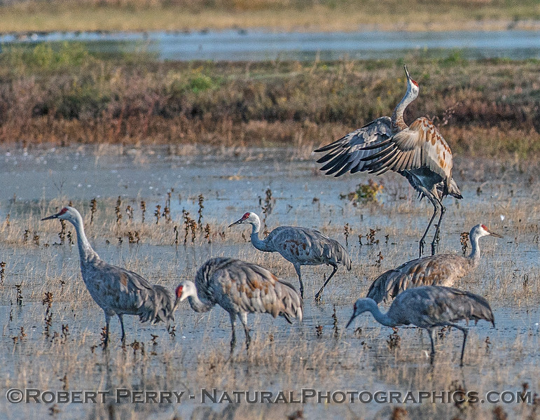 A crane leaps as others go about their feeding business in the preserve.