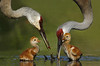 2006 Sandhill Crane : These images of one and two day old chicks were taken near my home in Sanford, Florida.  I visited the nest for 20 consecutive days, both early AM and late PM.  Finally on Sunday morning I observed two adults at the next site  and when the one on the nest  got up,  there was the first chick and one egg in full view. Later that day the chick was 70 yards from the nest..