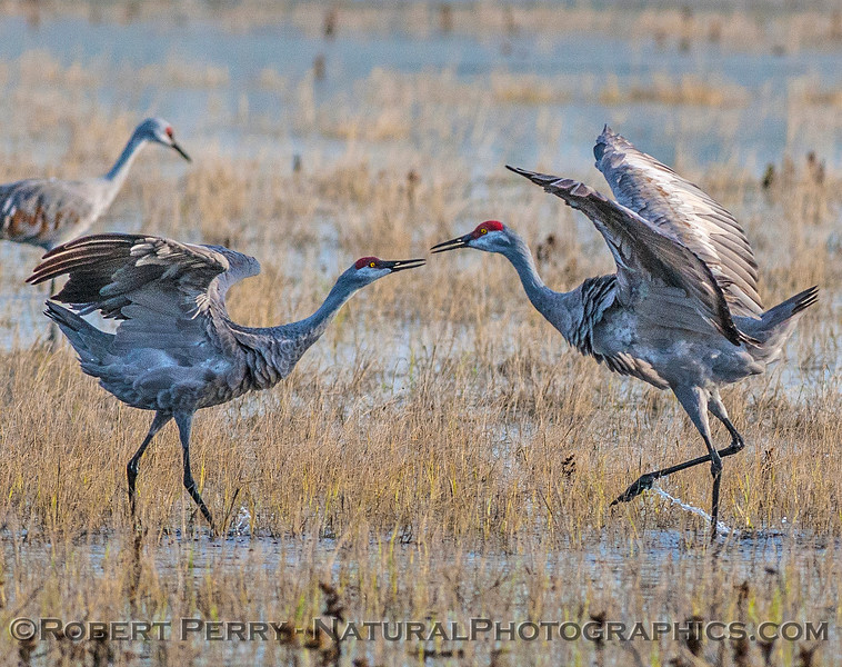 Eye-to-eye, a pair of sandhill cranes begin their dance.