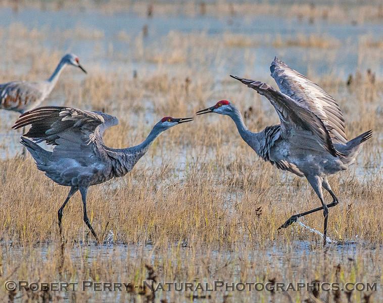 Eye-to-eye, a pair of sandhill cranes begin their dance.