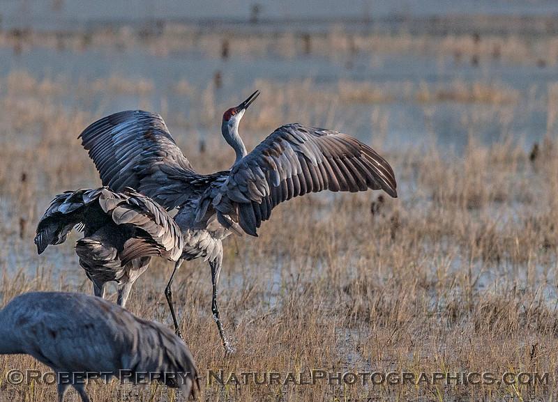 Dancing and singing - sandhill cranes.