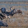 Dancing and singing - sandhill cranes.