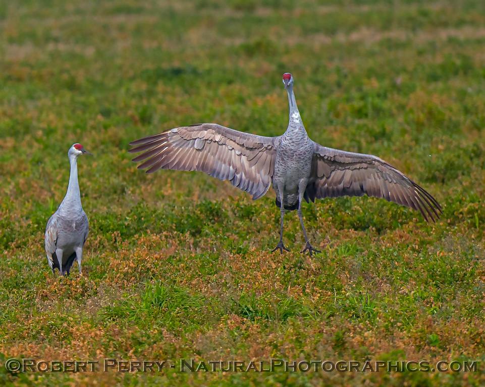 Grus canadensis Sandhill Cranes 2017 12-15 Woodbridge -059