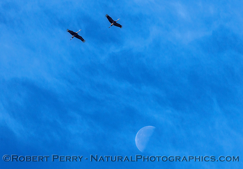 Two sandhill cranes in flight above the moon.