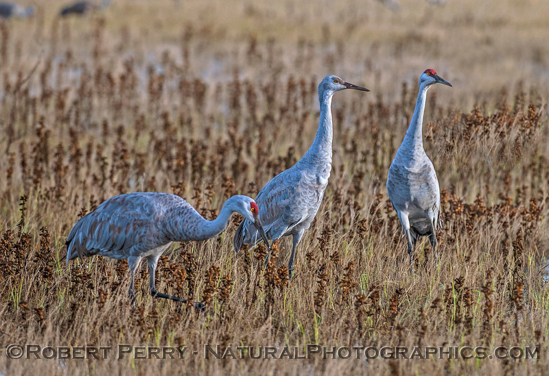 Sandhill cranes in the marsh...ever watchful.