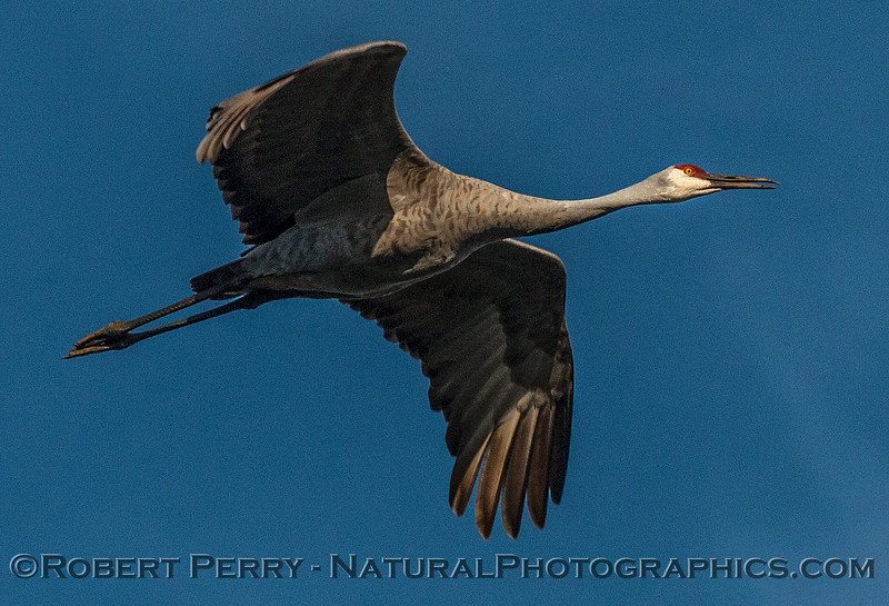 Low flying sandhill crane on a bright sunny day.